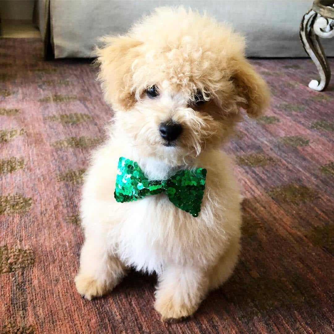 Teacup Poodle Puppies For Sale Near Me Mini Toy Poodles Puppies